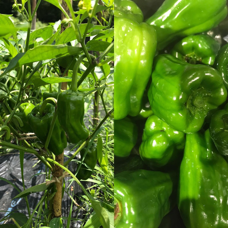 今日7/18も17時から営業してます。畑のピーマンも焼き野菜でお出ししてます。塩のみで種も一緒に食べられますよー明日はお休みいただきまーす。#イルフェソワフ #ワイン#日本酒 #薬院#警固#ピーマン#ホントの野菜は緑が淡い