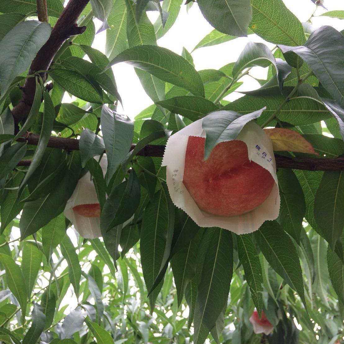 今の季節、うきは@赤司農園さんの桃が超オススメです!・お魚のカマスのマリネと桃のサラダ仕立て・桃とヨーグルトの冷製スープ・桃のコンポート(火入れ軽め)な感じでお出ししています。旬が短い桃を是非ご賞味くださいねお電話お待ちしてます!#イルフェソワフ #ワイン#日本酒 #薬院#警固