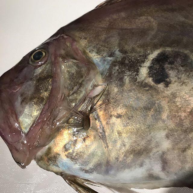 今日11/14の鮮魚の炭火焼きは「マトダイ」です。フランス料理でもよく使われるお魚です。本日もよろしくお願いします。#イルフェソワフ #ワイン#日本酒 #薬院#警固