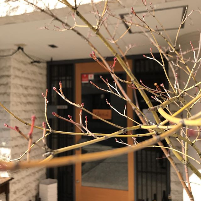 今日2/14はとても暖かく春っぽいですね。表の紅葉も蕾が膨らんで来ました。今日はカウンターもテーブルも空いています。よろしくお願いします。#イルフェソワフ #ワイン#日本酒 #薬院#警固