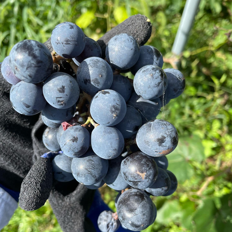 ちょっとだけ収穫のお手伝いに吉井に来てます。こうやって現場を見ると収穫のタイミング、見極めってホント難しいなあとあらためて思います。お店は30日まで休業してます。来月からは時短でもいいからお酒出したいなあー#イルフェソワフ #ワイン#日本酒 #薬院#警固#マスカットベーリーA